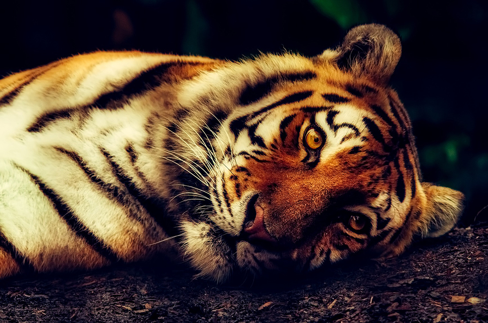 Oh No! There Are Less Than 350 Harimau Malaya Left In The Wild