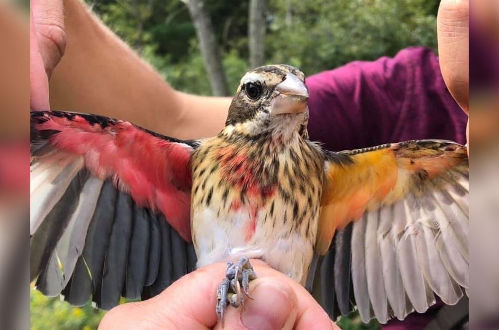US Scientists Discover Rare Half Male, Half Female Songbird In The Wild