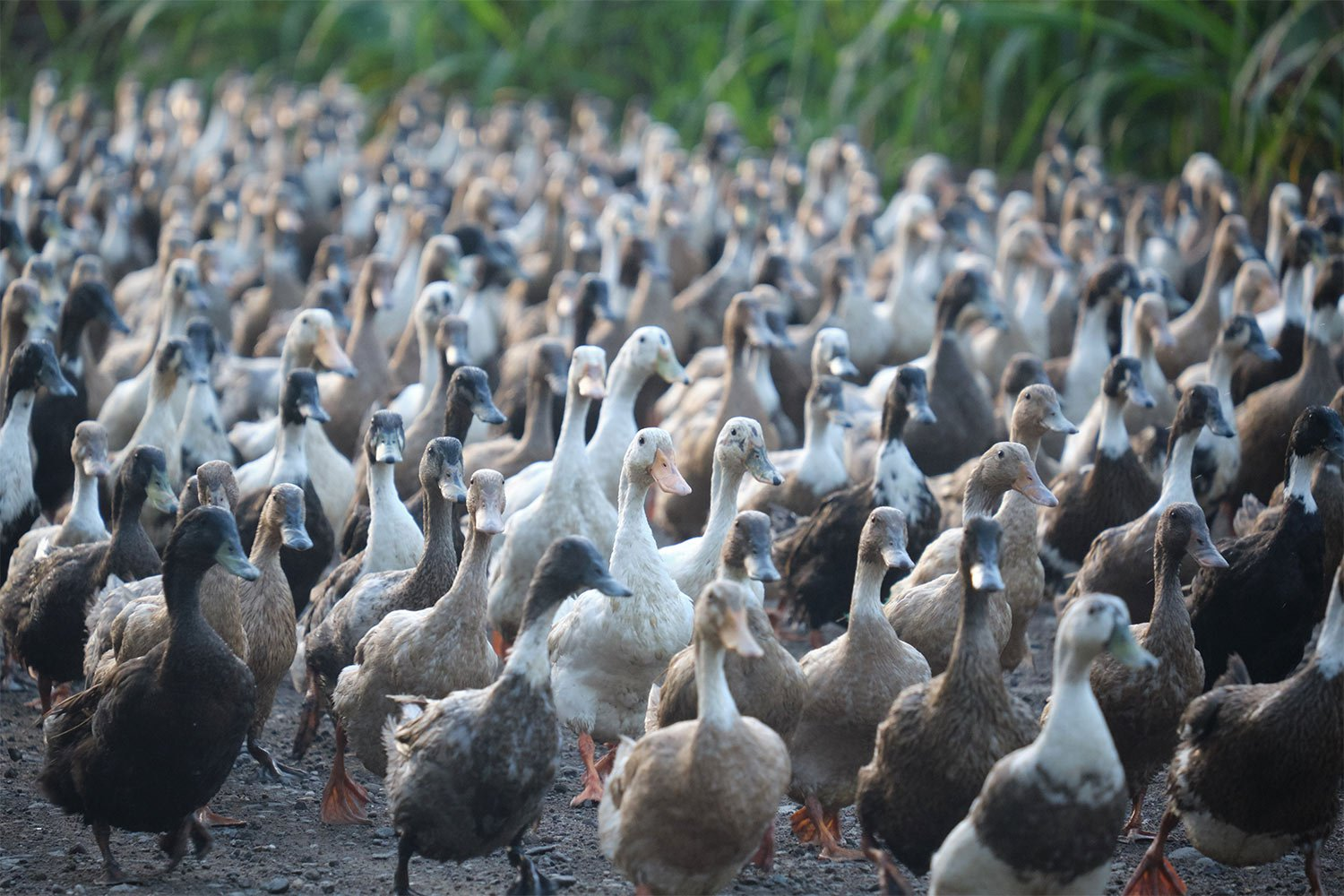 The ducks are ready.