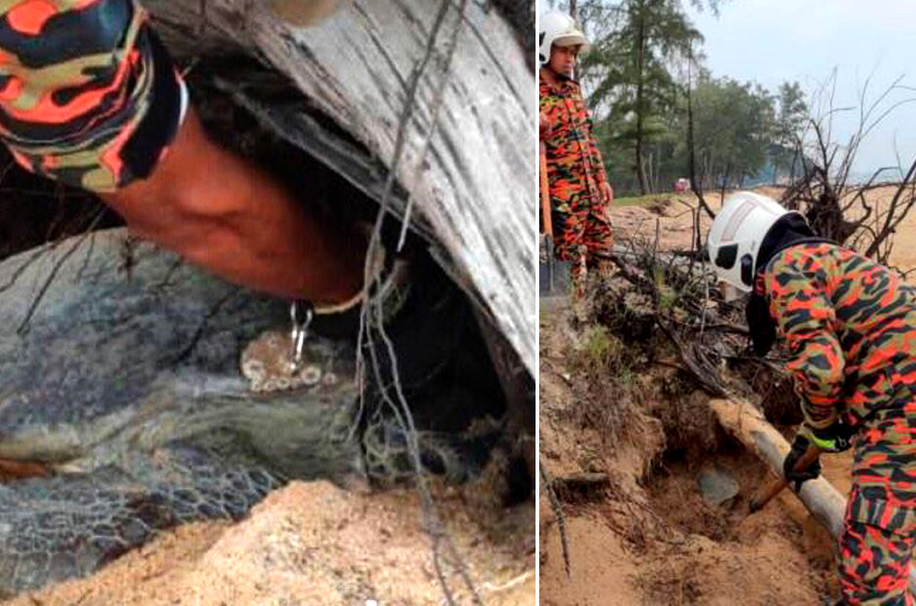 Abang-Abang Bomba Rush Out To Save Green Turtle Trapped Under A Fallen Tree In Terengganu