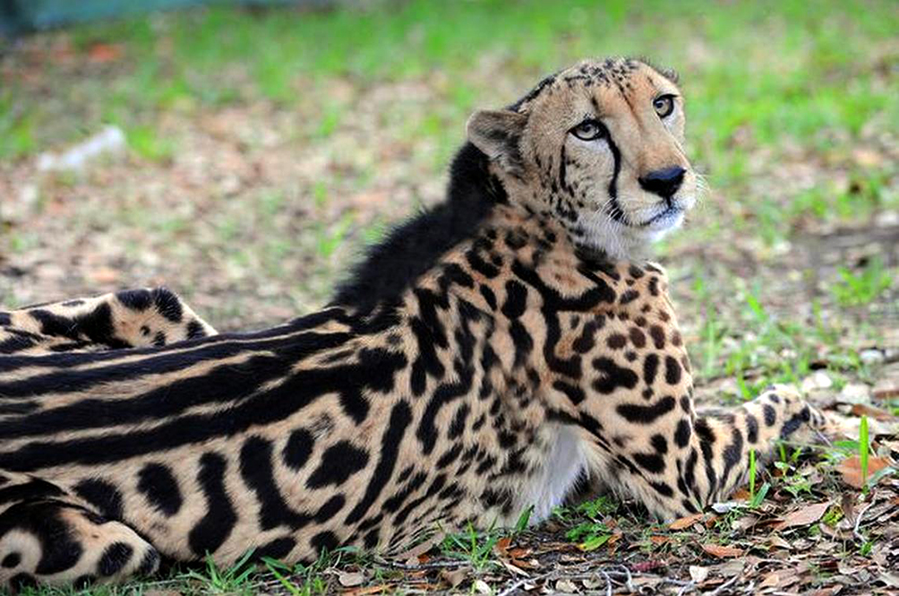 Image result for zoo negara cheetah