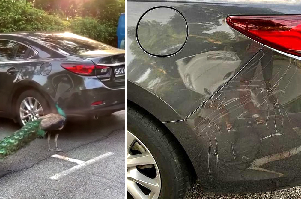 [VIDEO] Territorial Peacock Attacks Car After Spotting Its Own Reflection On It