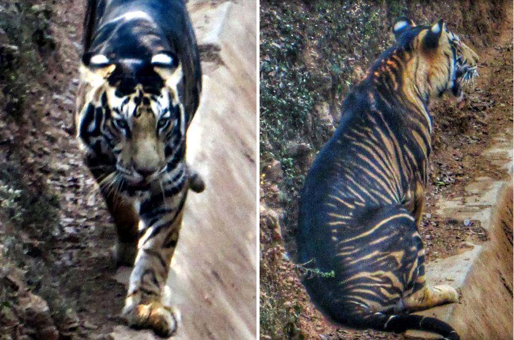 Amateur Photographer Captures Photos Of Ultra Rare Black Tiger In The Wild
