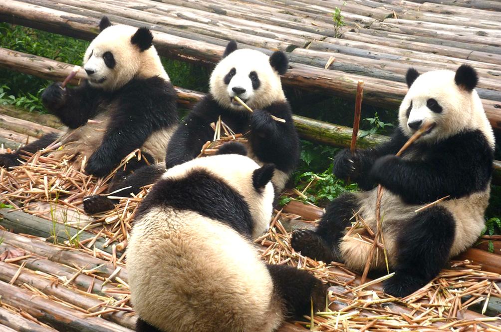 Panda-stic News! Giant Pandas Are No Longer Endangered, Now Categorised As Vulnerable