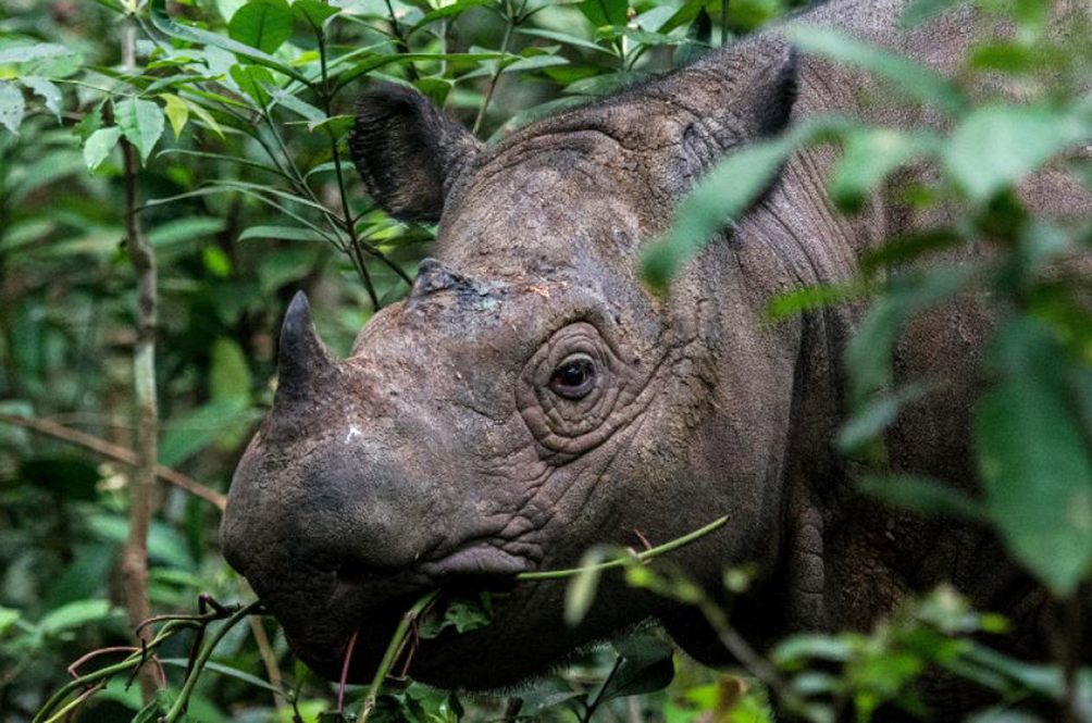 We Could Lose Our Last Surviving Male Sumatran Rhino