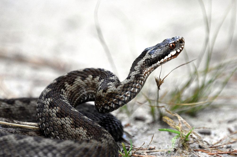 Sweet Revenge: Man In India Kills Venomous Snake That Bit Him...By Biting It Back