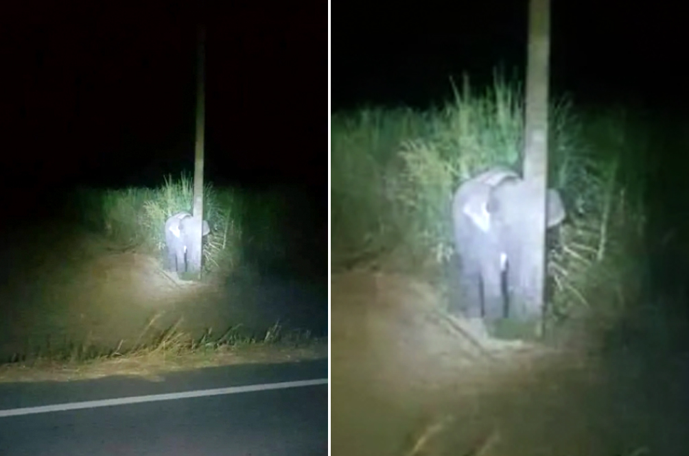 Cute Photo Of Baby Elephant Hiding Behind Pole After Being Caught Eating Sugarcane Goes Viral