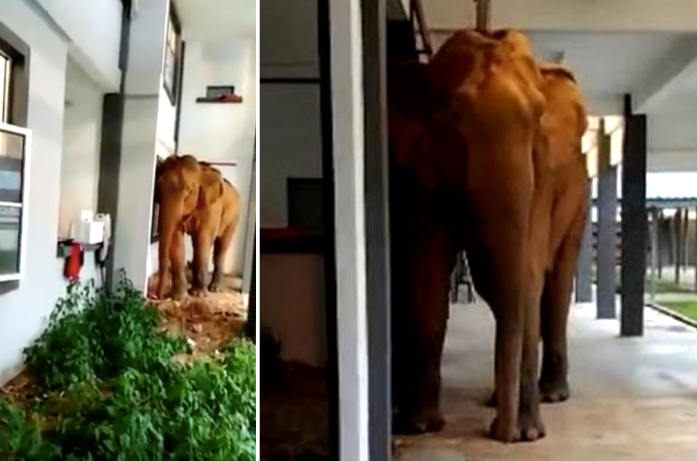 [VIDEO] Elephant Wanders Into Perak School, Maybe To Sit For Her SPM Examaminations?