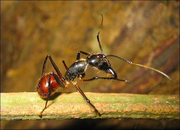 This ant species is the bomb.