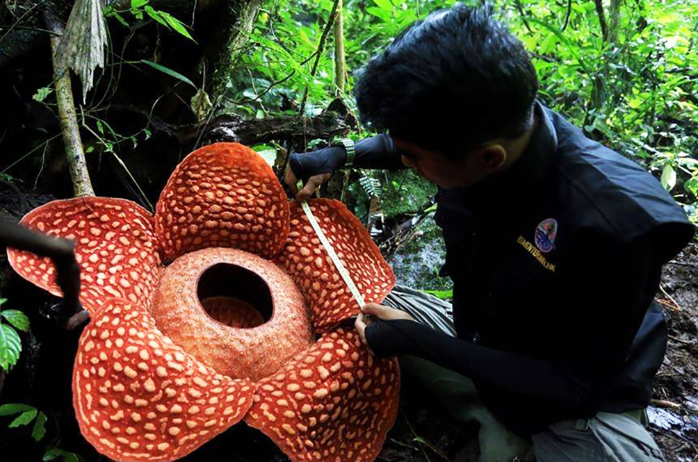 The Biggest Ever Rafflesia Flower Has Been Found In Indonesia