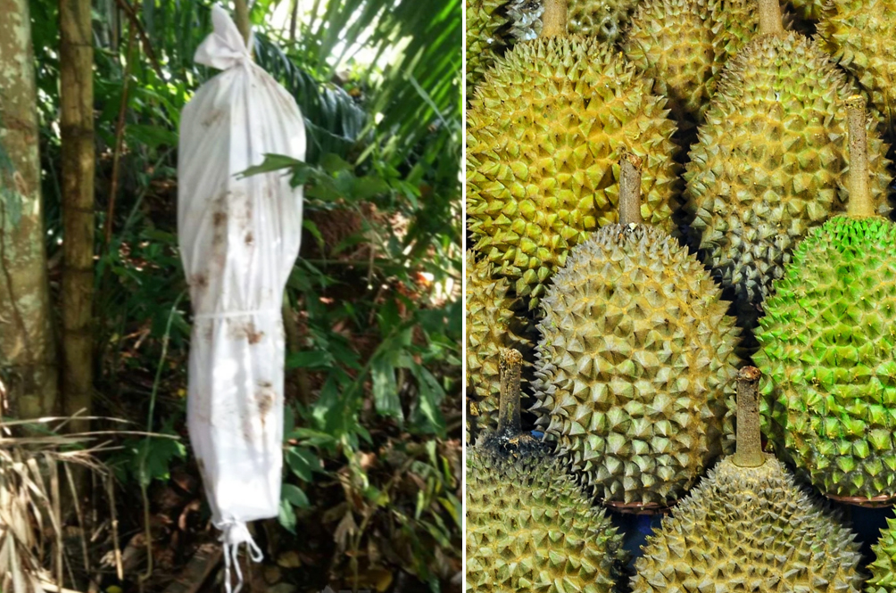 Malaysian Farmer 'Employs' Hantu Pocong To Stop Thieves From Stealing His Durian Fruits