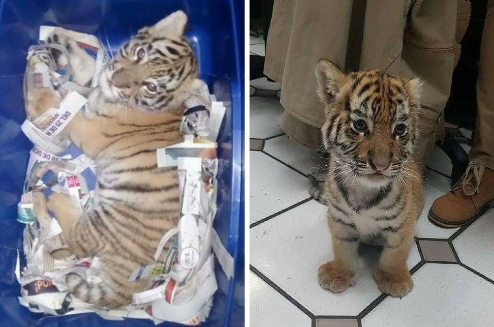 Terpisah Dari Ibunya, Anak Harimau Dibius Untuk Diseludup