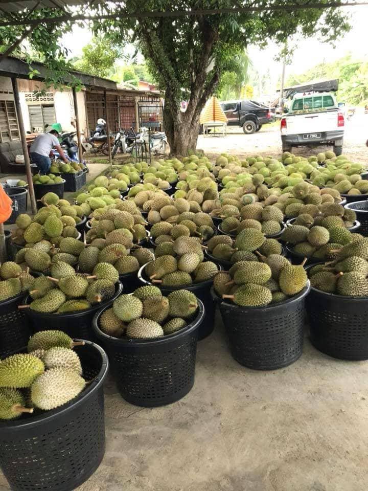Musim durian sedang melanda.