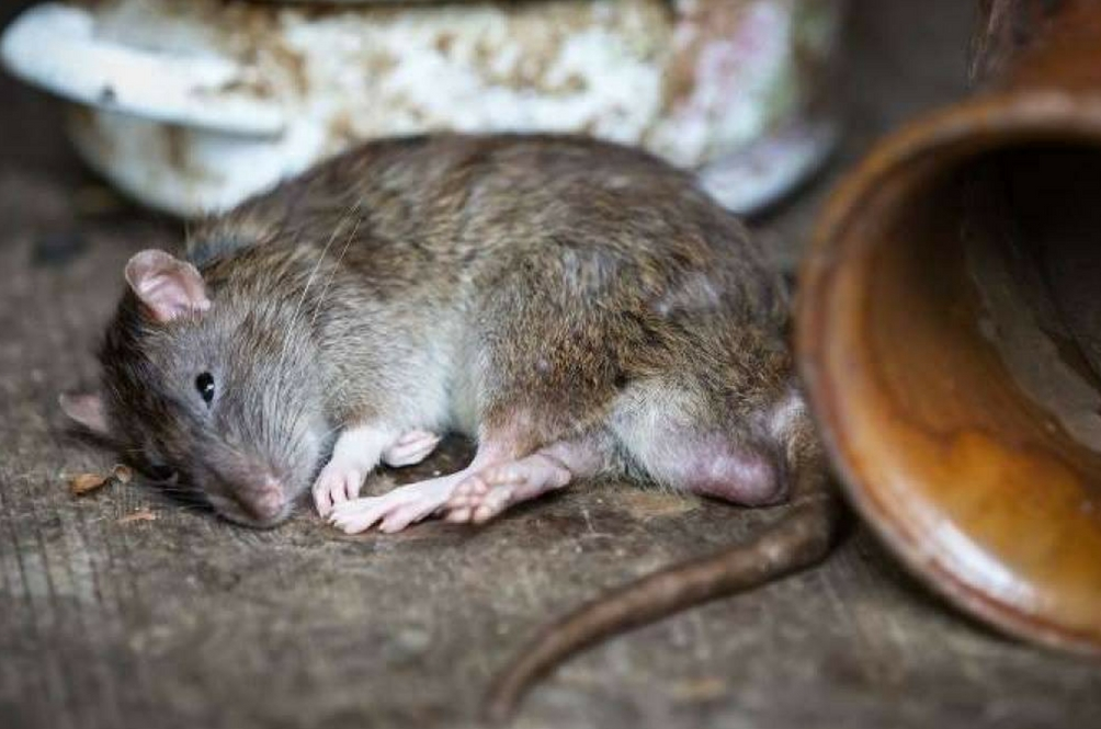 MBPJ Beri Ganjaran RM3 Untuk Seekor Tikus Yang Ditangkap
