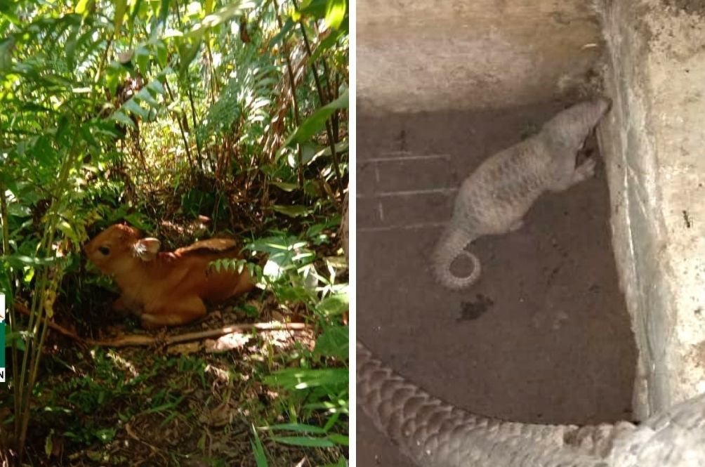 Double Joy As Perak Wildlife Conservation Centre Welcomes Baby Gaur And Pangolin