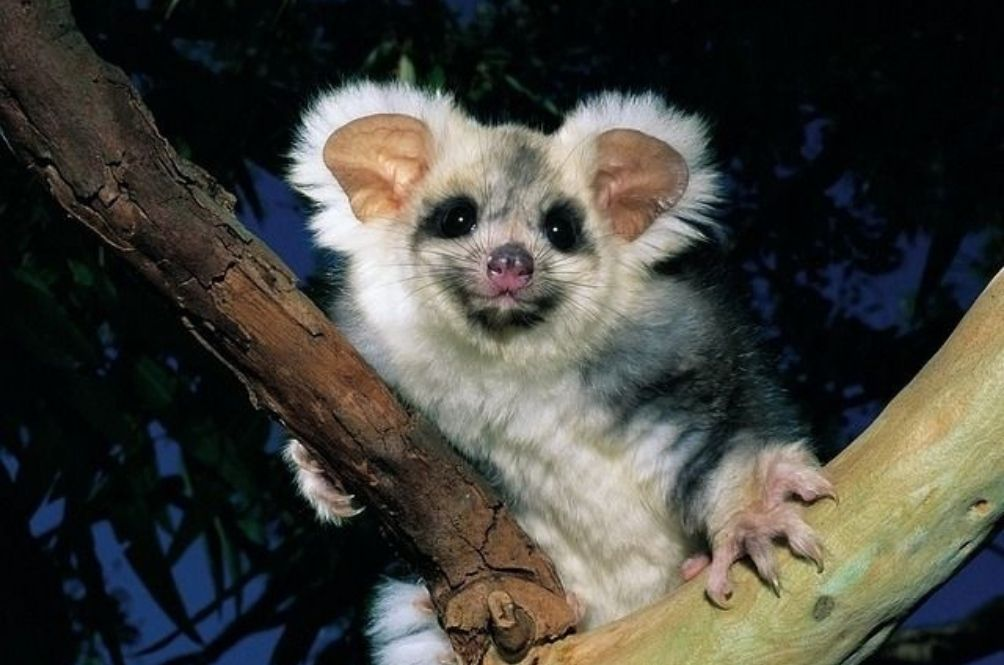 Two New Greater Glider Species Discovered In Australia