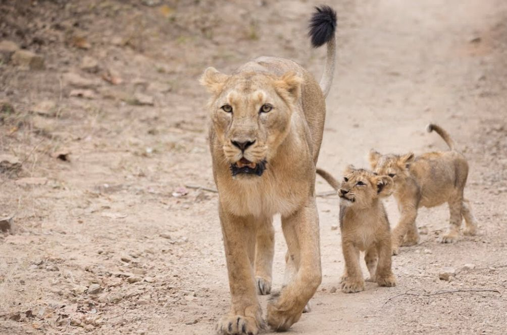 India's Asiatic Lion Population Records 29% Increase In Last Five Years