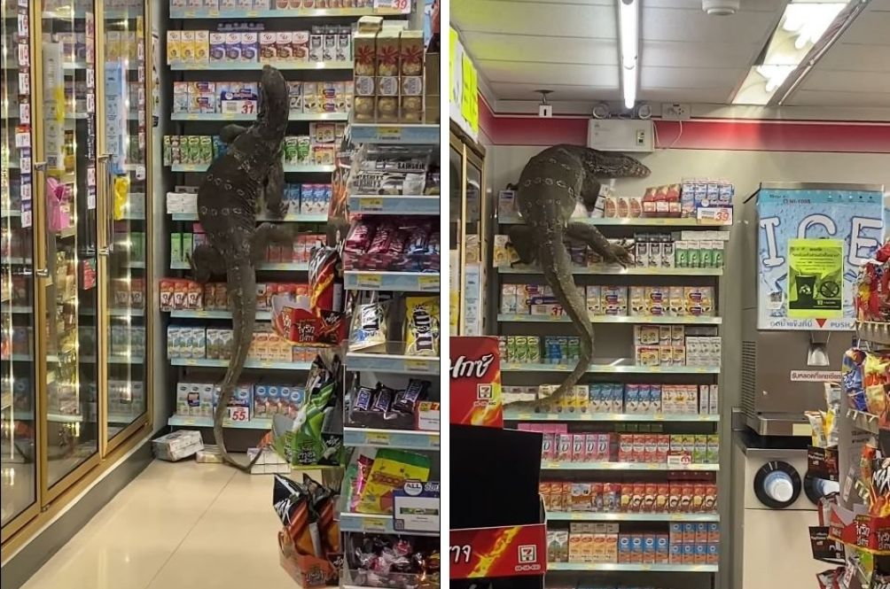 (VIDEO) Giant Monitor Lizard Makes Surprise Visit To 7-Eleven Store In Bangkok