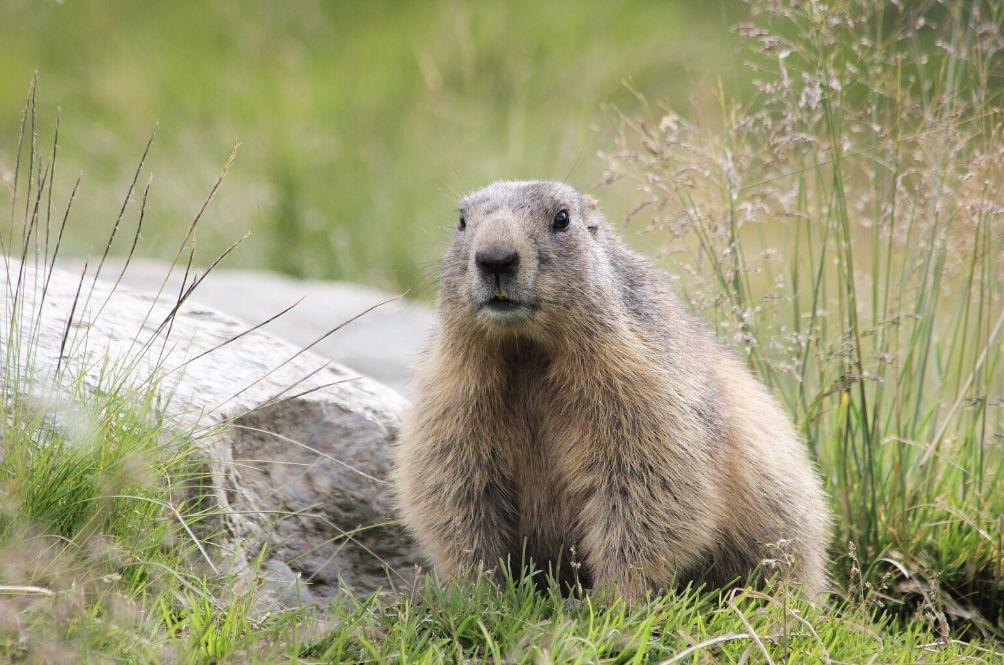 Mongolian Man Contracts Bubonic Plague After Eating Marmot Meat