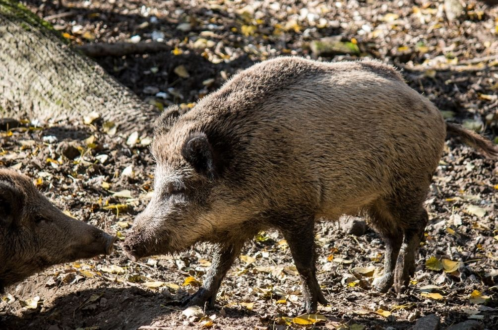 Get Rid Of Them! Melaka Exco Suggests Setting Up Special Committee To Deal With Wild Boar Problems