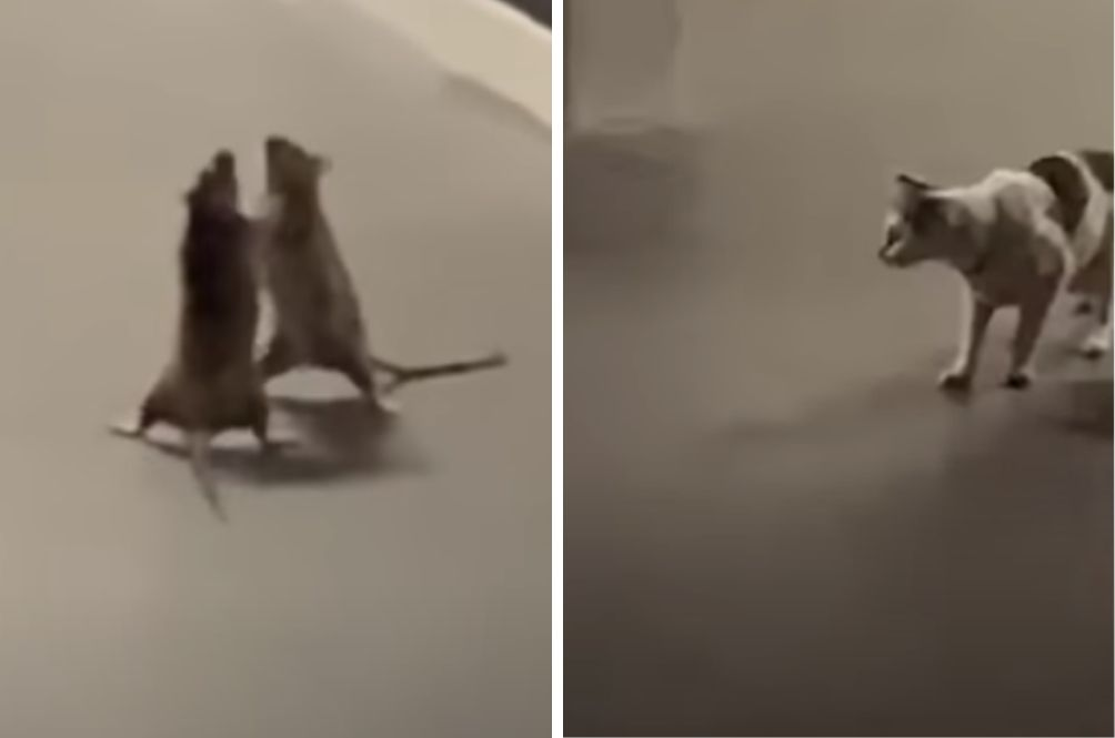 An Unusual Sight: S'porean Captures Video Of Two Rats Embroiled In 'Fist Fight' While Cat Looks On