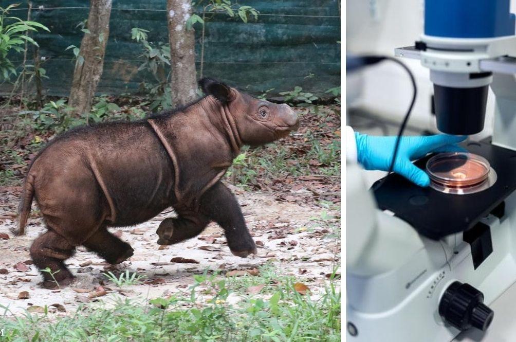 Malaysian Officials Hope To Bring Back Extinct Sumatran Rhinos Using Cool Science