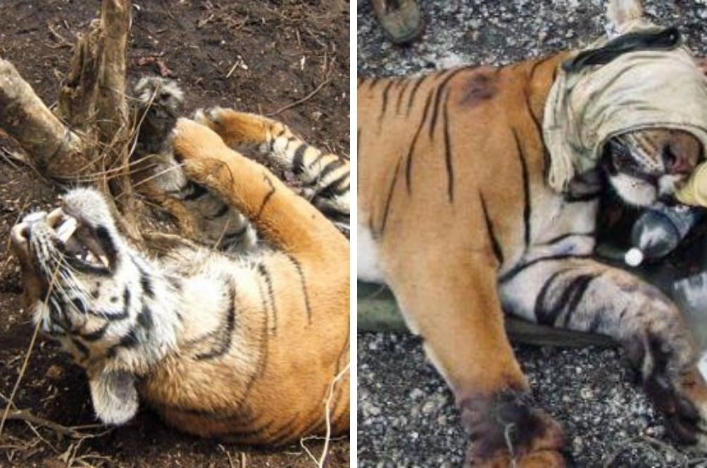 Snares Are Killing Malaysia's Tigers; If Trend Continues They Could Be Wiped Out By 2022