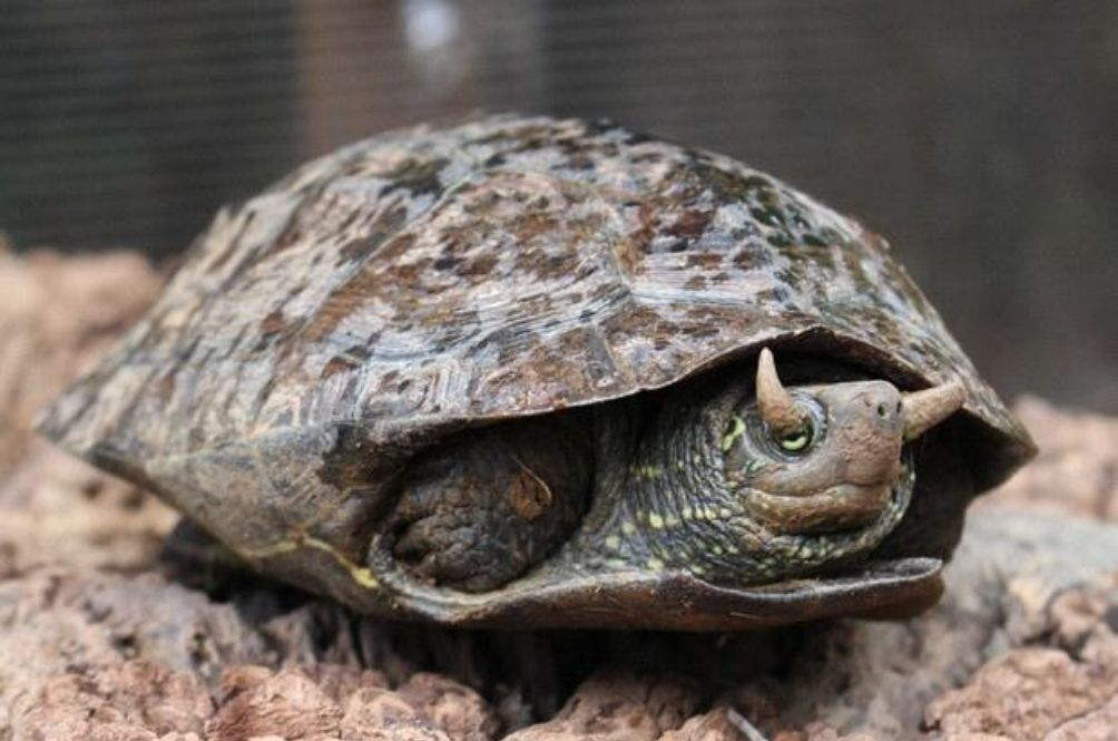 Rare Turtle With Horns On Eyelids A Hit Feature At Japanese Zoo