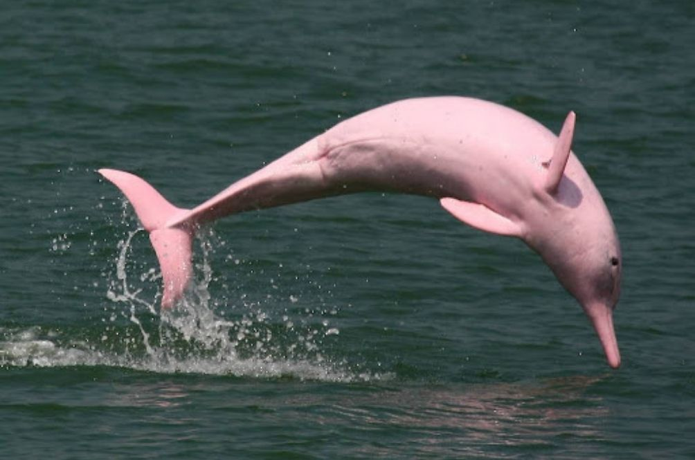Rare Pink Dolphins Are Returning To The Waters Between Hong Kong And Macau Now