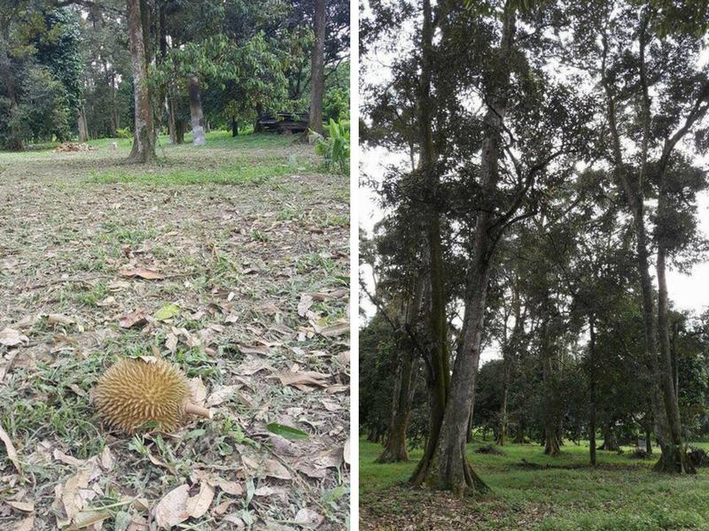 Merasai durian yang segar dari kebun memang cukup puas.