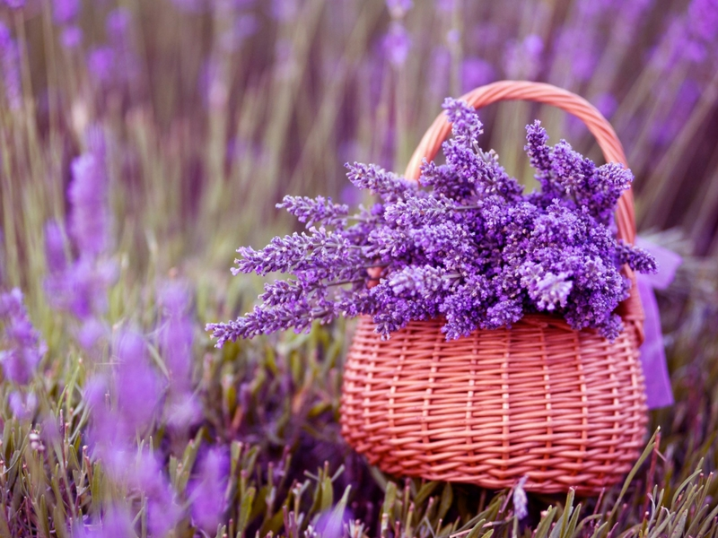 Arona  bunga lavender ini dipercayai mampu menganggu deria nyamuk untuk mencari mangsa.