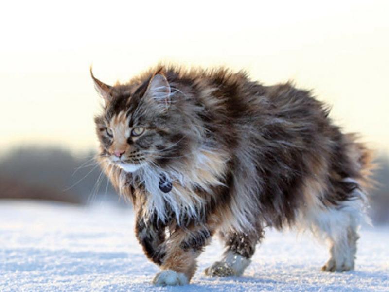 Bulu yang panjang pada kucing Maine Coon ini tidak memerlukan banyak penjagaan rapi seperti Persian.