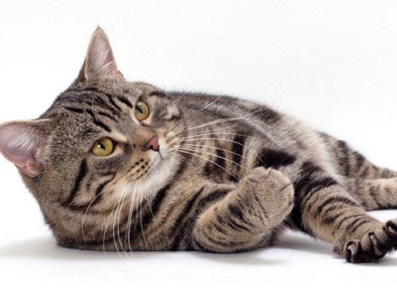 Manx mempunyai kaki belakang lebih panjang daripada kaki depan yang memudahkannya menangkap mangsa.