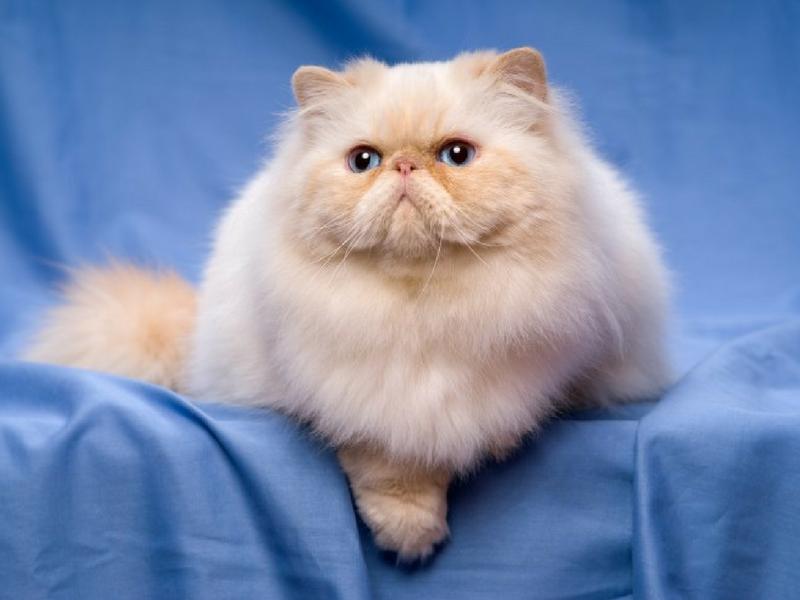 Kucing Persian mempunyai harga yang tinggi tetapi memerlukan rawatan pemeliharaan setiap hari.