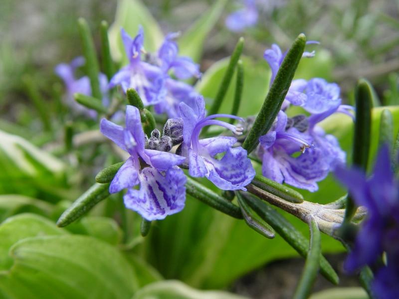 Meskipun tanaman rosemary sering digunakan dalam masakan tetapi ia tidak disukai nyamuk.