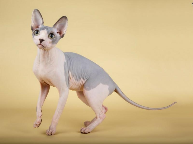 The Sphynx kelihatan seperti kucing berbulu tetapi sebenarnya tidak berbulu.