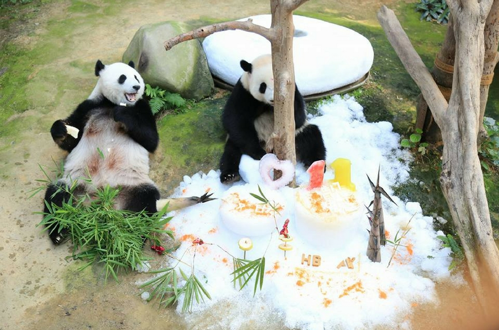 9100 Koleksi Gambar Binatang Panda Yang Lucu Gratis Terbaik