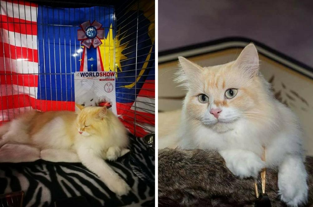 Dua Kucing Ini Harumkan Malaysia Tewaskan 40 Negara