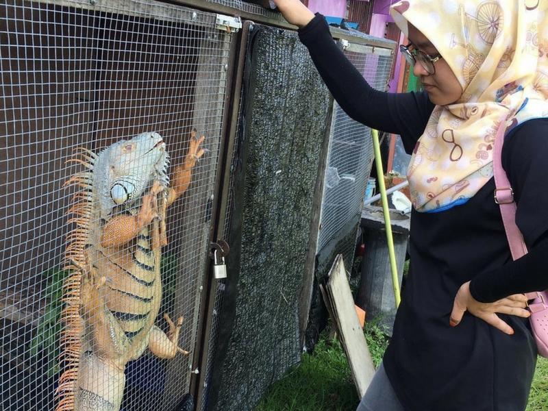 Iguana antara haiwan diperlihara gadis ini di belakang rumahnya.