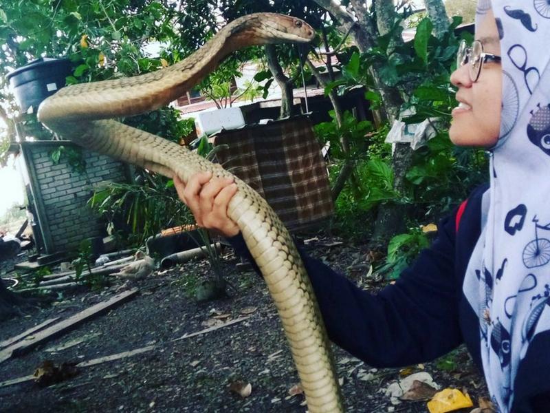 Memegang ular tedung selar menjadi seperti kebiasaan bagi gadis ini.