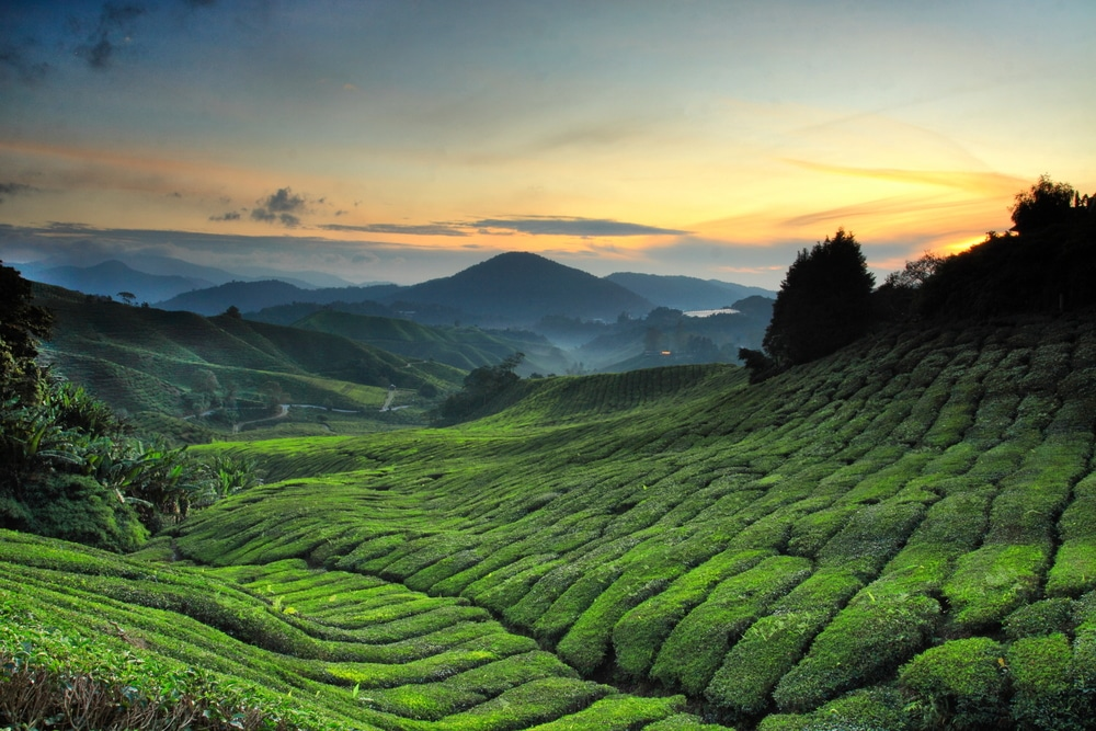 The ever insta-worthy Cameron Highlands.