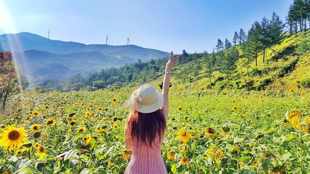 Don't miss the annual Taebaek Sunflower Festival!