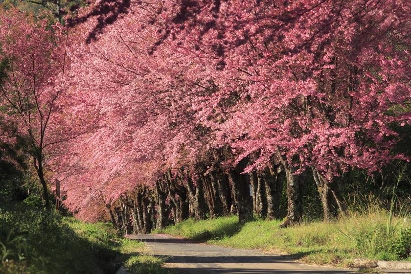 Beautiful cherry blossoms at Khun Chang Kian