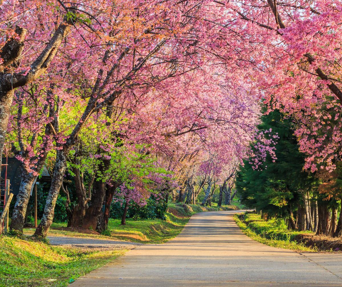 Beautiful, pink canopies at Phu Chi Fah