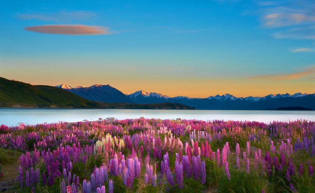 Colourful lupins adorn Lake Tekapo <3