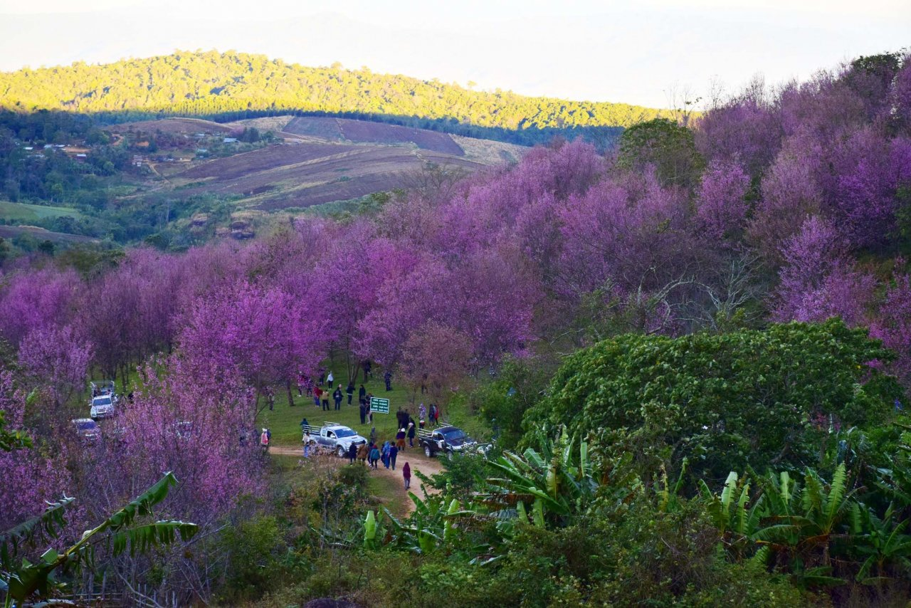 Vibrant pink trees over green hills.