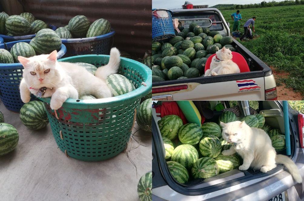 [PHOTOS] Hire Me!: This Fluffy Grumpy Cat 'Works' As A Watermelon Farm Supervisor