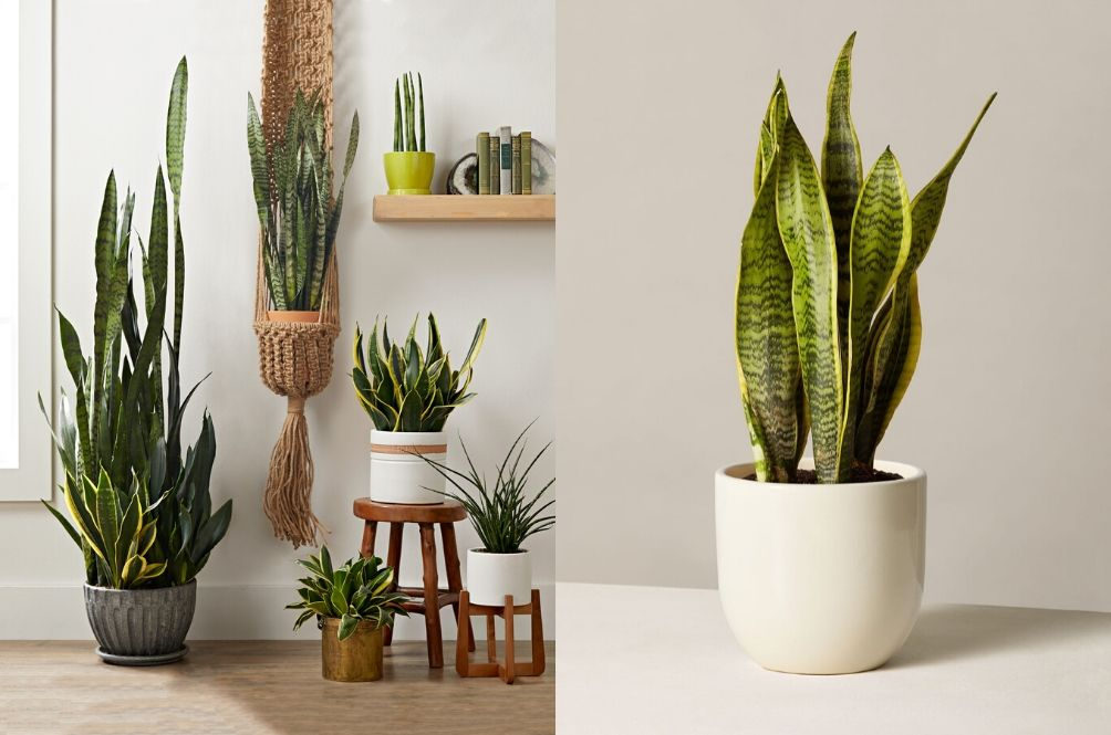 Yikes, The Viral Snake Plant May Actually Be Harmful To Your Health, According To Local Expert