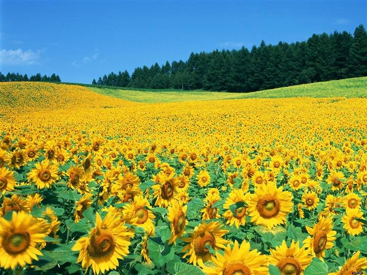 Well, they weren't kidding when they say over 1,000,000 sunflowers.