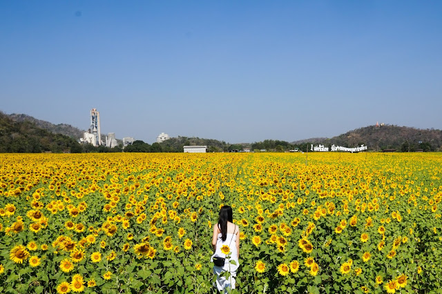 Look at how huge this sunflower field is!